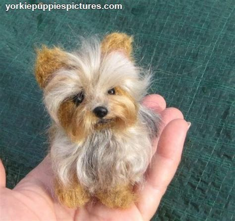 pictures of mini yorkies teacup yorkies for sale