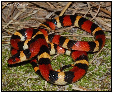 snake pattern red black yellow black yellow red snake
