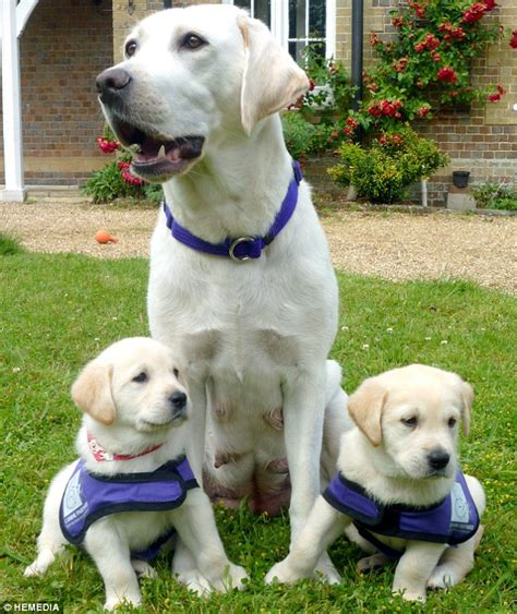 puppy guide pups to the rescue the guide dogs bred to unload washing answer telephones and