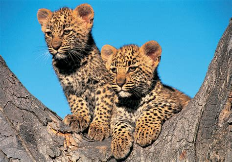 Gamis Leopard facts about leopards swain destinations travel