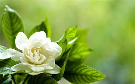 imagenes de flores gardenias plantas m 193 gicas historia de las gardenias