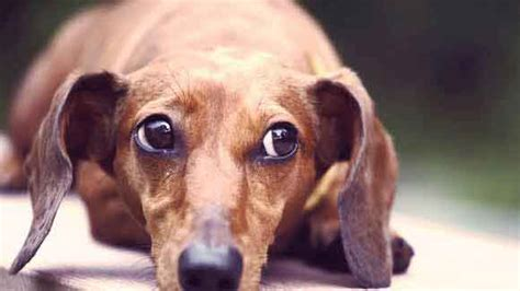 how dogs how to a barking dachshund petcarerx