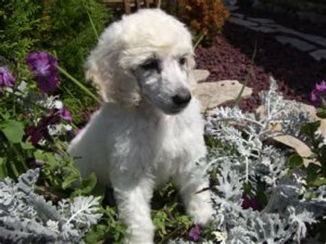standard poodle puppies for sale ohio standard poodle puppies for sale in ohio dogs our friends photo