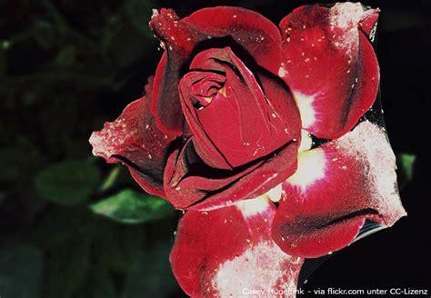was hilft gegen mehltau 3660 was hilft gegen rosenkrankheiten garten hausxxl