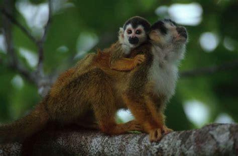 squirrel central zone squirrel monkey