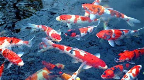 tato ikan koi terbaik inilah jenis jenis ikan koi terbaik serta harganya