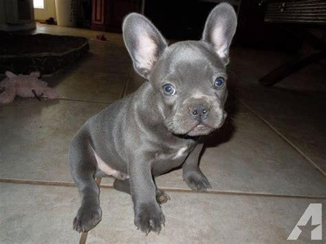 sacramento adoption bulldog adopt sacramento dogs in our photo