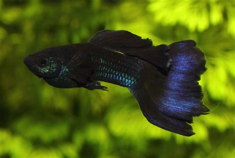 Guppy Blue Moscow Promo guppy moscow blue fishey moscow and blue