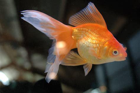 vasca pesce rosso il pesce rosso viridea