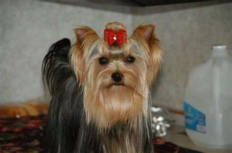 yorkie puppies for sale in alaska 18 best images about yorkies are the best on best dogs and yorkie
