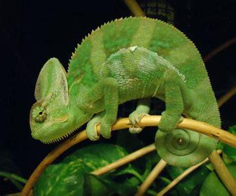 alimentazione camaleonte camaleonte mille animali