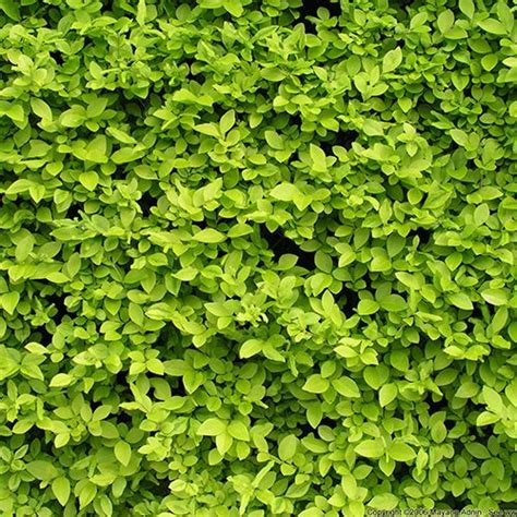 broadleaf shrub stay green all year lawn garden pinterest shrubs and green