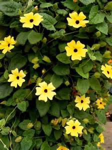 climbing plants sun 5 gorgeous climbing vines to plant for a flowing bohemian