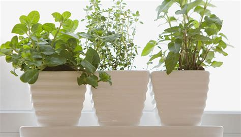 windowsill herb garden growing an herb garden epicurious com epicurious com