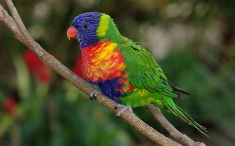 rainbow parrot orange beak  red eyes wallpapers hd