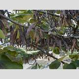 Eastern Redbud Leaves | 500 x 375 jpeg 58kB