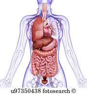 anatomia organi interni organi interni archivio artistico illustrazioni 13 660