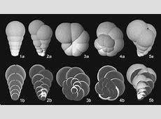 Simulation of foraminiferal shells applying the moving ... Foraminiferal