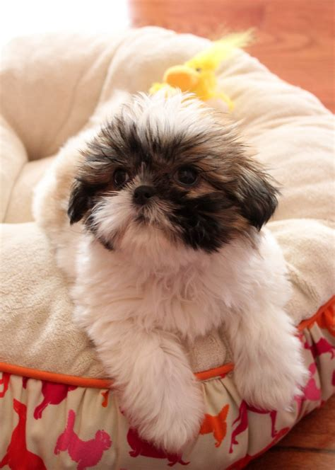shih tzu puppy names 17 best ideas about baby shih tzu on shih tzu