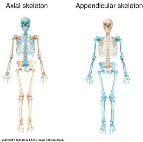 appendicular skeleton and axial google search yoga