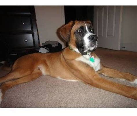 bulloxer puppies for sale 17 best images about boxer boston mix on washington dc area and boxers