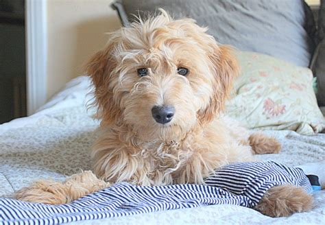 golden retriever poodle mix goldendoodle golden retriever poodle mix breeds picture