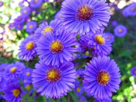 Pretty Purple Aster Flowers Picture Jpg Aster Flower Gallery