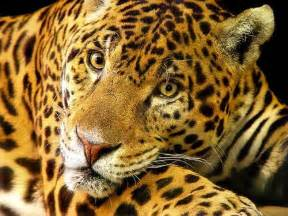Jaguar Cat Fantastica Animal Jaguar Cats Animal