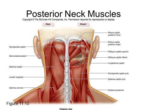 diagram of neck muscles diagram neck glands pituitary gland diagram elsavadorla