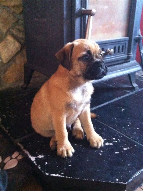 border terrier pug pug x border terrier hull east of pets4homes