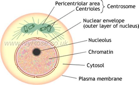 diagram of interphase mitosis interphase diagram labeled