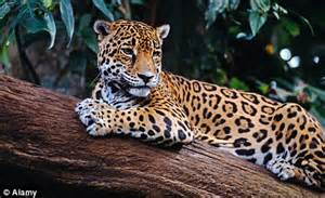 Jaguars Wealth Brilliant Belize A Land Of Beasts And