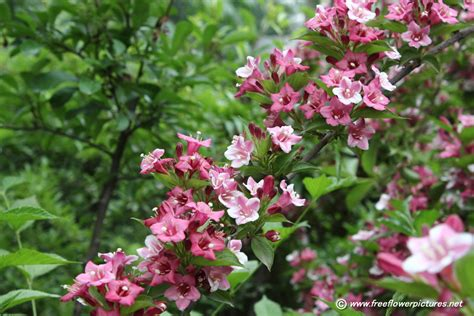 picture of weigela bush flower pictures 449