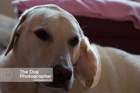 cauliflower ear in dogs cauliflower ears dogs 38249 vizualize
