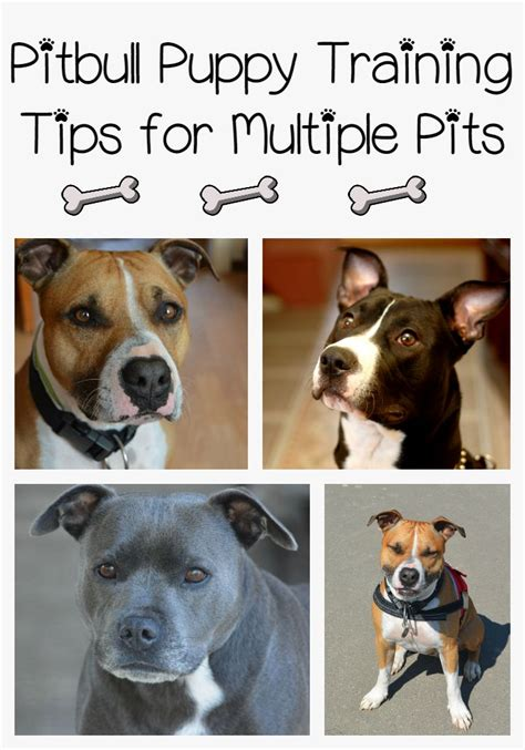 pitbull puppy tips pitbull puppy tips for pits dogvills