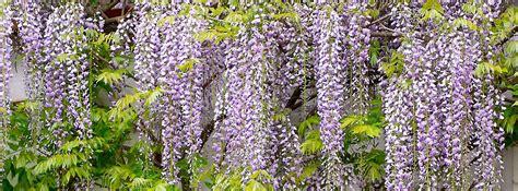piante da giardino con fiori profumati i ricanti pi 249 veloci e i pi 249 profumati cose di casa