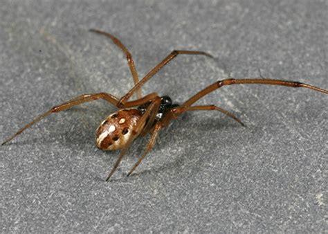 brown widow latrodectus geometricus