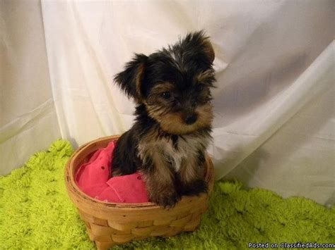 teacup yorkie and shih tzu mix best 25 yorkie shih tzu mix ideas on shorkie tzu shorkie puppies and