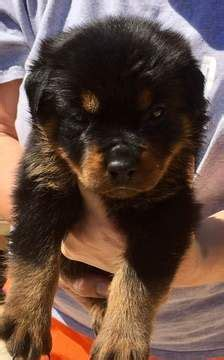 rottweiler for sale in sc 17 best ideas about rottweiler puppies on rottweilers baby rottweiler and
