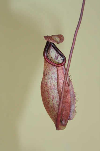 Jual Alat Hidroponik Pontianak jual tanaman n globosa x n maxima merah bibitbunga