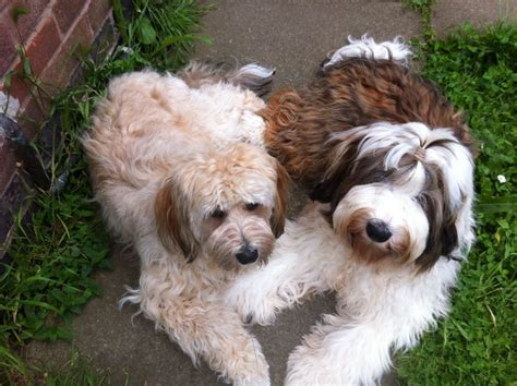 tibetan terrier puppy tibetan terrier puppies from health tested parents loughborough leicestershire
