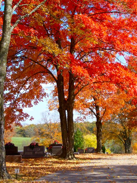 maple tree wood maple wood tree www pixshark images galleries with a bite
