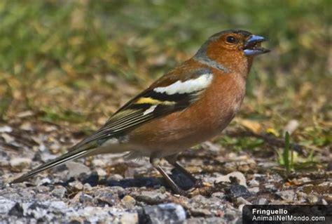 alimentazione uccelli fringuello volatili animali nel mondo