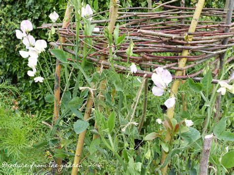 top 28 sweet pea mulch the best annual flowering vines for your garden sweet peas holme