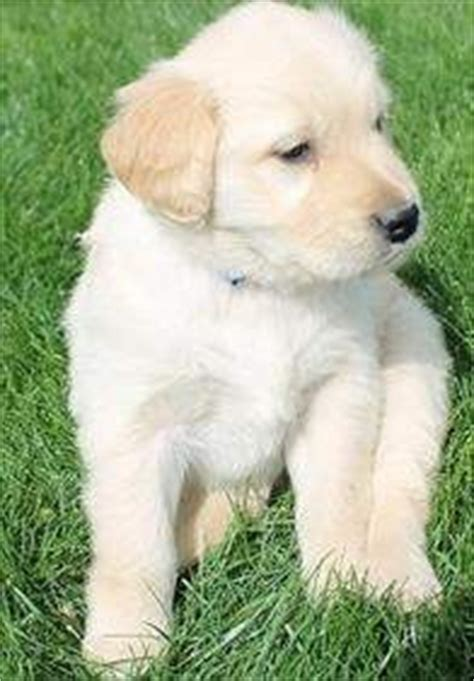 golden retriever puppies missoula dogs missoula mt free classified ads