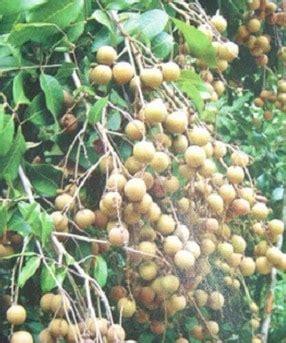 Bibit Kelengkeng Makassar jual tanaman kelengkeng biji lada bibit