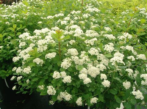 flowering evergreen shrubs flowering shrubs johnston s evergreen nursery