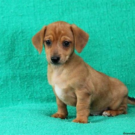chiweenie puppies price dash chiweenie puppy for sale in pennsylvania