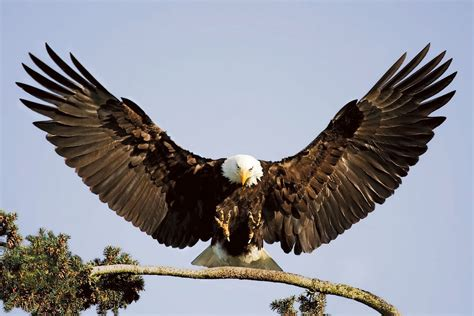 Eagle Most Beautiful Images   Top hd animals wallpapers