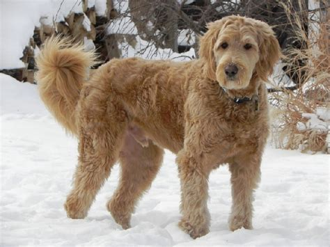 Goldendoodle Wavy Coat